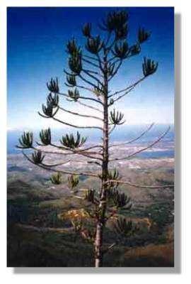L'un des nombreux araucarias, l'Araucaria rulei forme des groupements en altitude sur les latérites des massifs miniers. Celui-ci sur le Moné (Monts Koghis) domine, à 1080 m d'altitude, la péninsule de Nouméa. © J.J Espirat
