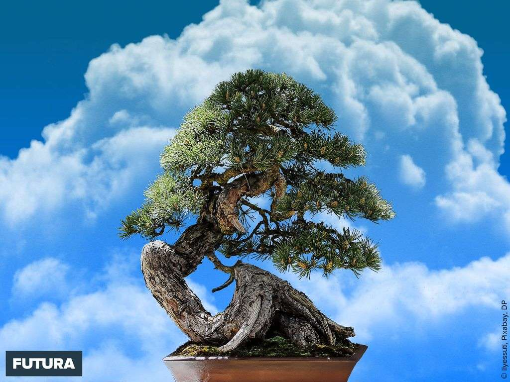 Pin noir du Japon à deux aiguilles en bonsaï
