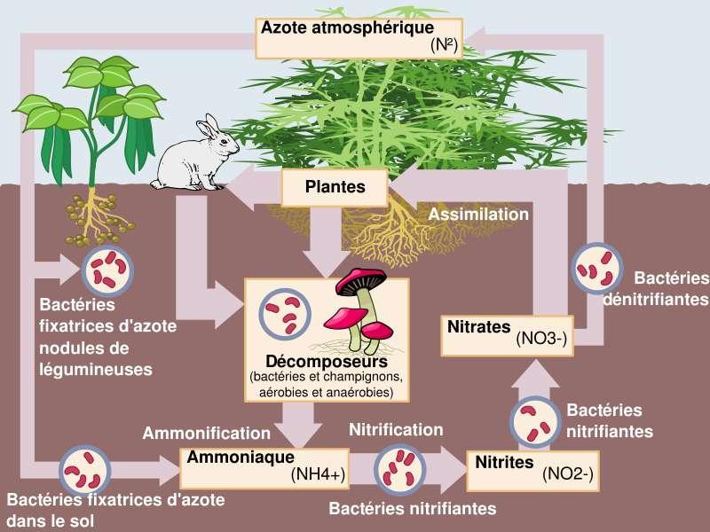 Les plantes assimilent l'azote sous forme de nitrates (NO3-), qui sont fournis par les bactéries dénitrifiantes, capables de fixer directement l'azote atmosphérique. © Johann Dréo, Wikipédia, cc by sa 3.0