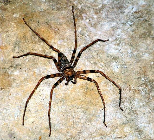 L'araignée cavernicole du Laos est une espèce qui ne construit pas de toile. © insecta62, Flickr, cc by 2.0