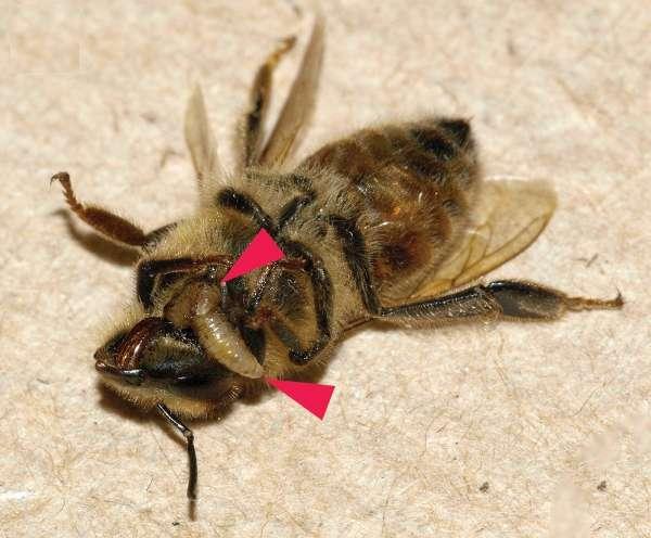 Deux larves d'Apocephalus borealis sortant du corps d'une abeille domestique (Apis mellifera). © Core et al. 2012, Plos One