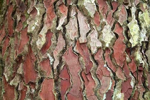 Le pin maritime est représentatif de la forêt des landes. À l'image, une écorce du pin maritime encore appelé pin de Corte, pin des Landes ou pin mésogéen (Pinus pinaster). © Jean-Pol Gradmont licence Creative Commons paternité – partage à l'identique 3.0 (non transposée).