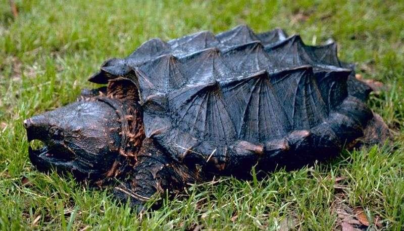 La carapace de la tortue alligator rappelle les plaques de certains dinosaures. © Gary M. Stolz, Wikipédia, USFWS, DP