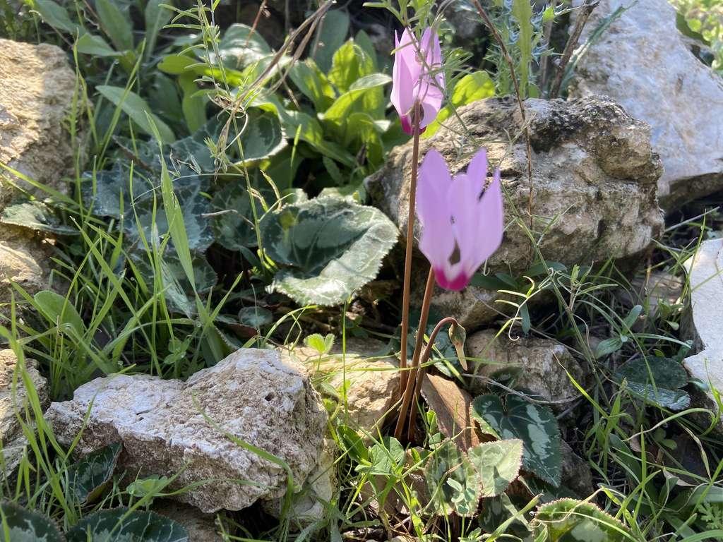 Le cyclamen est une fleur géocarpe dont les fruits une fois formés sont ramenés en terre par la spiralisation du pédoncule. © uriah, iNaturalist