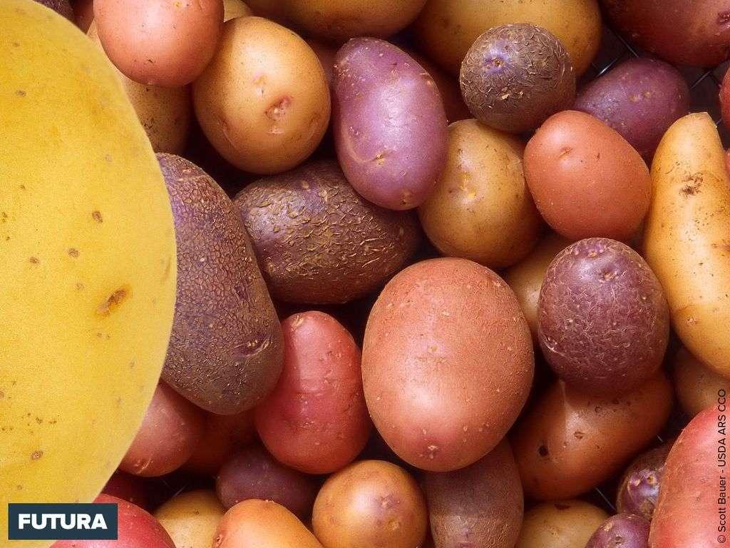 Pommes de terre à déguster