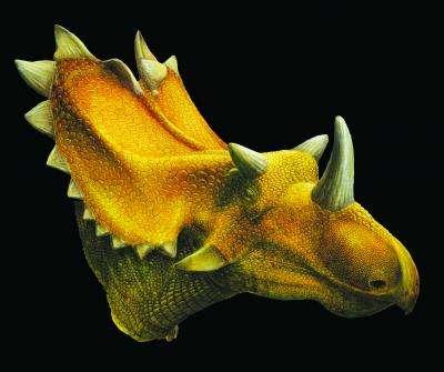 Utahceratops gettyi possède un crâne de 2,3 mètres de long, et trois cornes, une sur le museau et deux au-dessus des yeux. © Lukas Panzarin