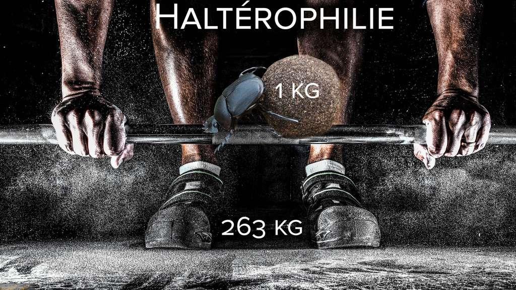 Haltérophilie : le bousier, une force de la nature