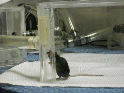 Les souris entraînées reconnaissent des fientes d'oiseaux infectés par le virus de la grippe aviaire. © Maryanne Opiekun / Monell Chemical Senses Center