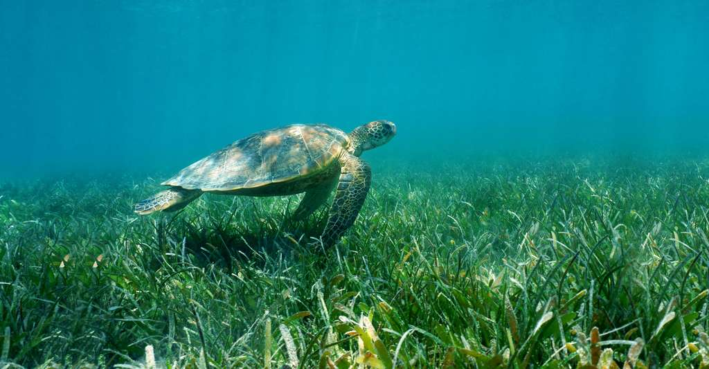 Tortue nageant au-dessus de la posidonie. © Seaphotoart Carey, Fotolia