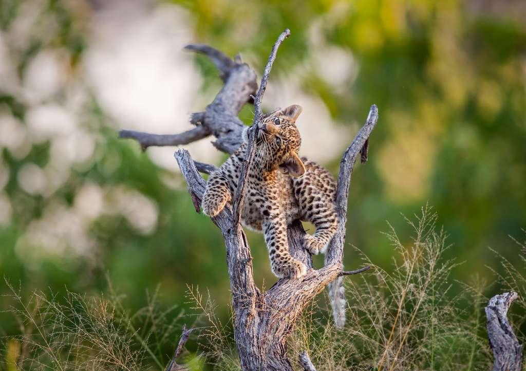 L'insouciance du jeune léopard