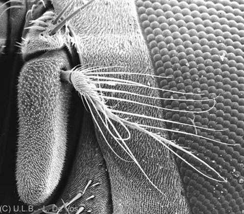 Antennes de mouche © L. deVos Reproduction et utilisation interdites