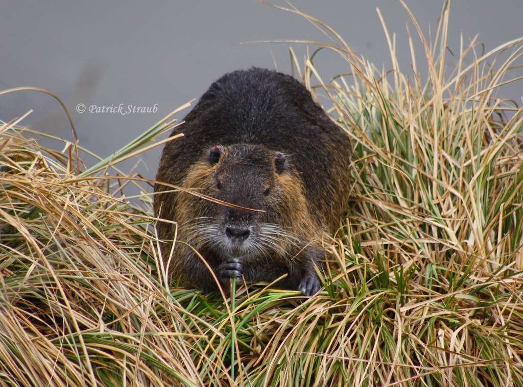 Ragondin se nourrissant d'herbe. © Patrick Straub