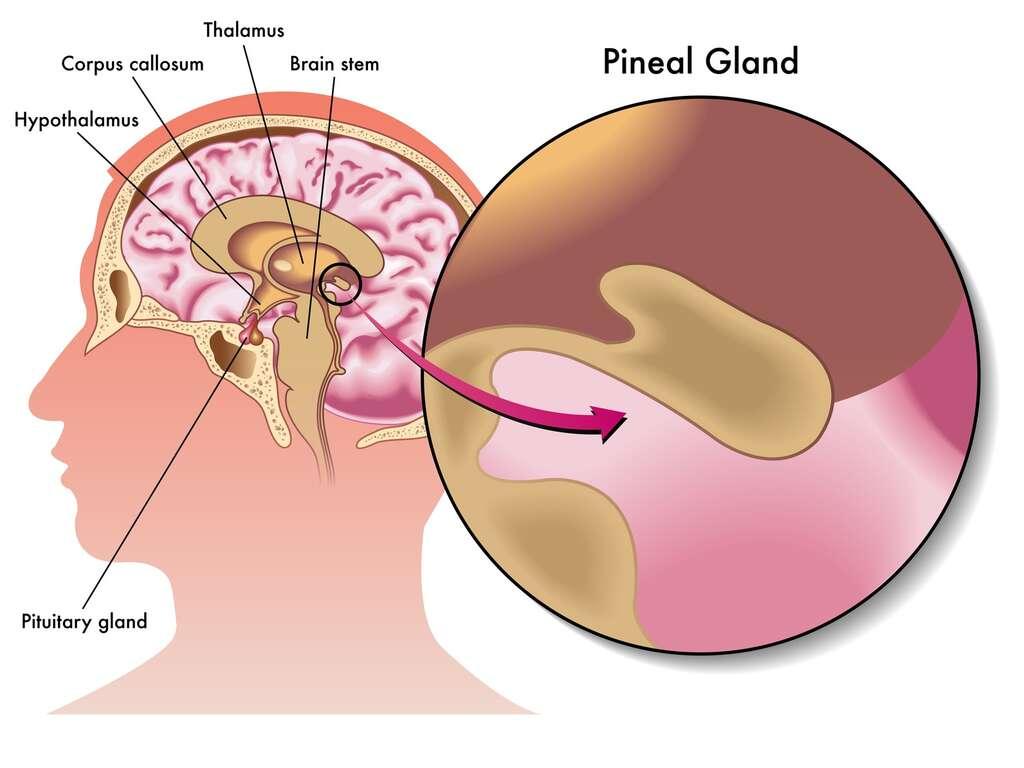 Localisation de la glande pinéale. © rob3000, Fotolia