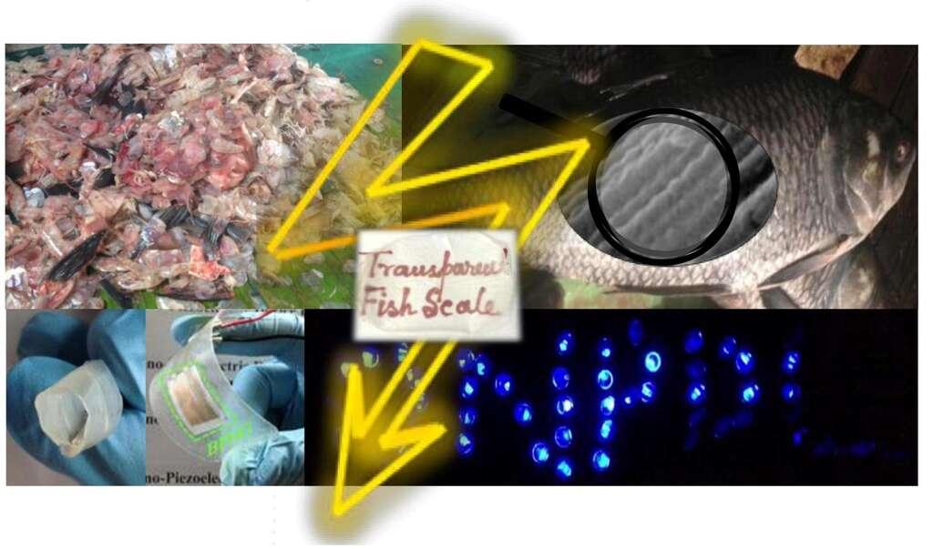 Un résumé en images de cette étonnante réalisation. En haut à gauche, les écailles récupérées. Elles sont constituées de fibres minuscules de collagène précisément alignées, comme le montre la photographie de droite, obtenue par microscopie électronique à balayage. Dessous, à gauche, des doigts montrent une écaille devenue transparente (Transparent Fish Scale) qui, juste à droite, a été intégrée sur un support souple muni de connecteurs électriques. On voit à côté le résultat : des diodes bleues qui s'allument, alimentées par l'électricité générée par quatre écailles lorsqu'elles sont soumises à une contrainte mécanique. © Sujoy Kuman Ghosh et Dipankar Mandal, Jadavpur University