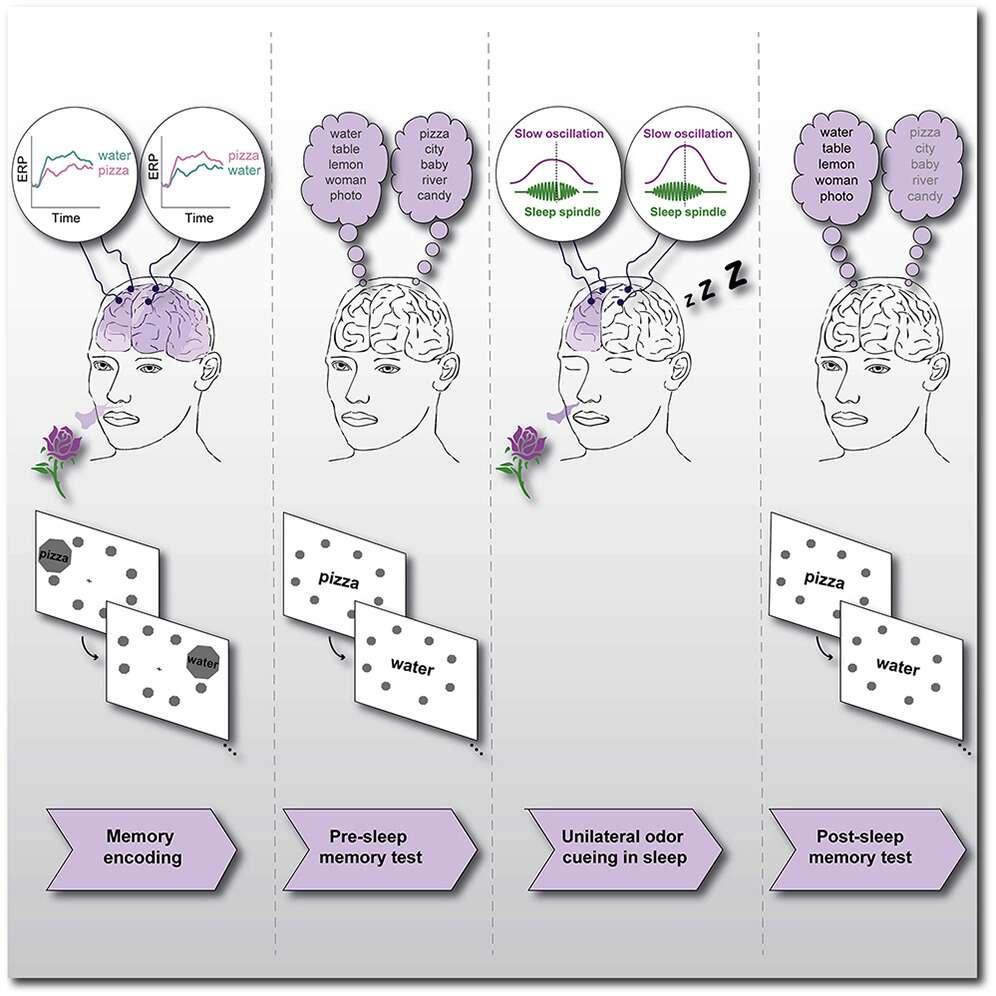 Un schéma récapitulant l'expérience de TMR réalisée par les scientifiques. © Ella Bar et al. Current Biology