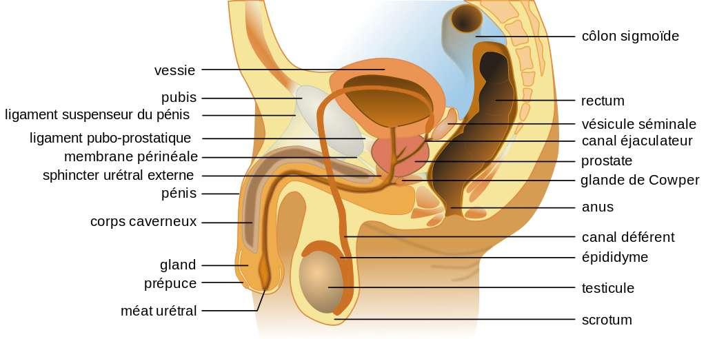 Schéma anatomique masculin représentant notamment le canal déférent. © Tsaitgaist, Wikimedia Commons, C by-sa 3.0