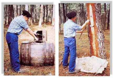 """Photo de gauche :La résine récoltée à la suite des différentes """"piques"""" est déposée dans une barrique qui sera acheminée vers une usine de distillation. © Claude Courau - """"Le gemmage en forêt de gascogne"""" - Editions Princi Negre - Tous droits réservés Photo de droite : La campagne de gemmage se termine, et le résinier doit racler la résine cristalisée qui s'est accumulée le long de la """"Carre"""". C'est le temps du """"barrasquage"""".© Claude Courau - """"Le gemmage en forêt de gascogne"""" - Editions Princi Negre - Tous droits réservés"""