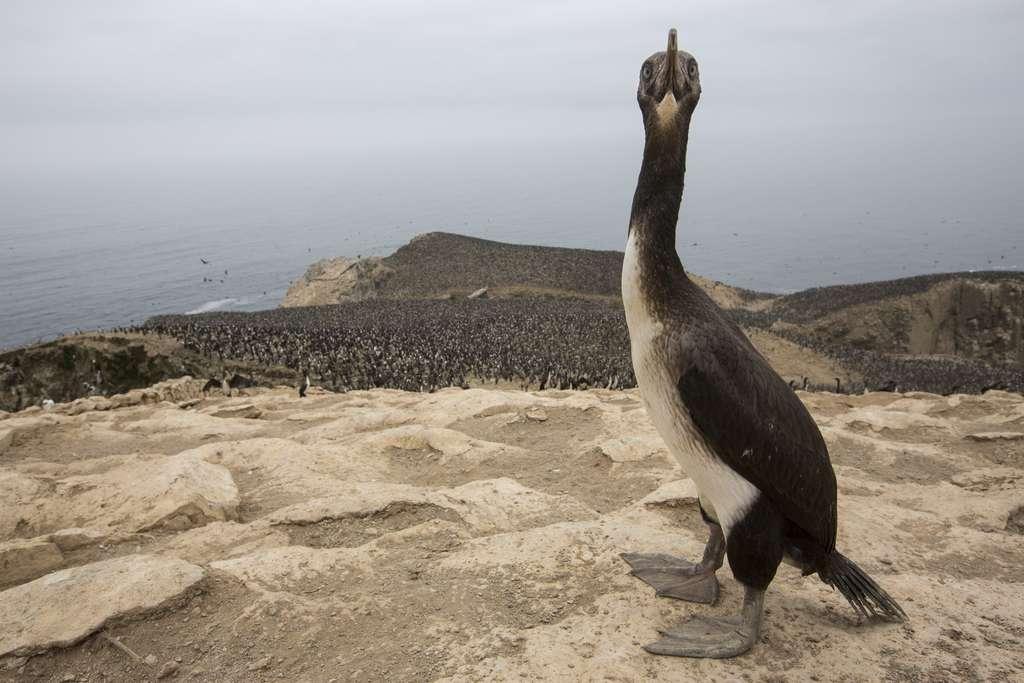 Le cormoran de Bougainville