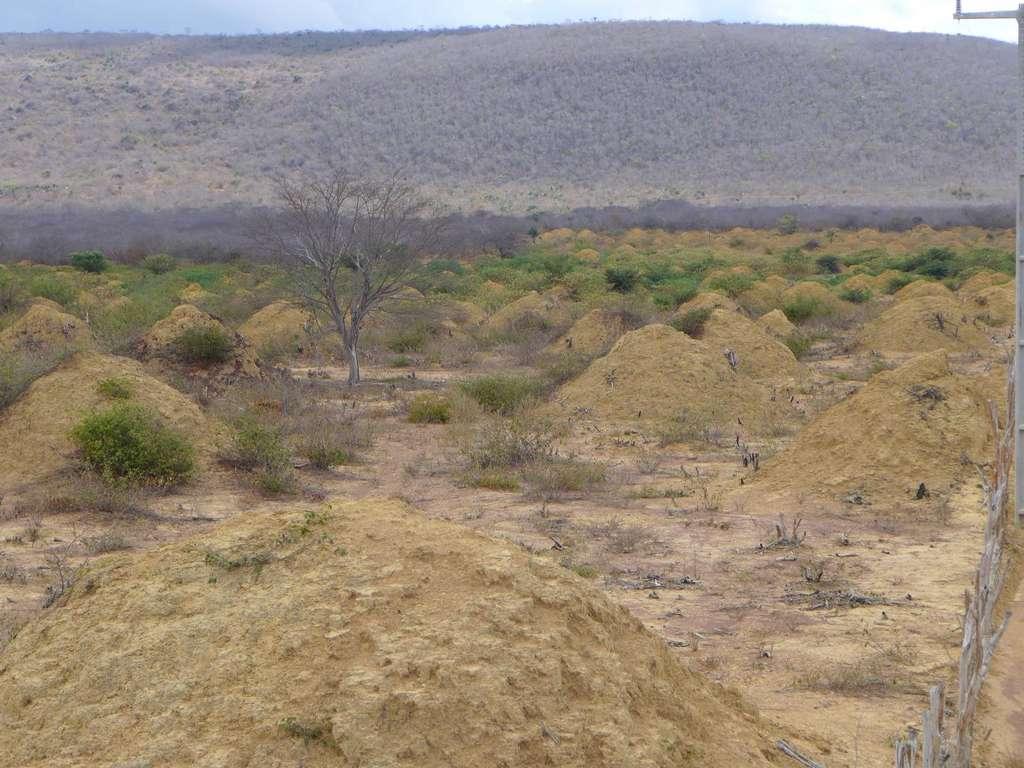 Les termitières sont âgées de 690 à 3.820 ans. © Roy Funch