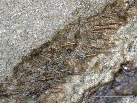Les « proto-épines » de Spinolestes xenarthrosus, situées sur le dos, au niveau de la ceinture pelvienne. Barre d'échelle : 1 mm. © R. Vullo