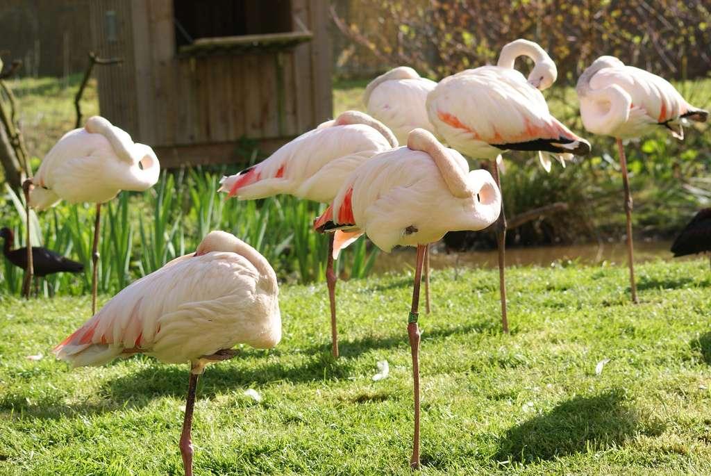 Les flamants roses dorment sur une patte et cachent leur tête sous leur aile. Une position qui leur demande peu d'effort et les aide à se protéger du froid. © Ingrid Girard, Flickr, CC by-nc 2.0