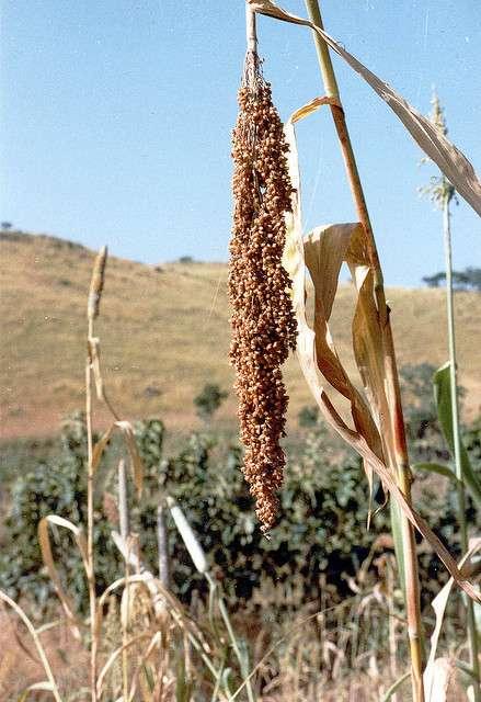 Le millet se décline en de nombreuses espèces. © Paul-W, Flickr, CC by nc-sa 2.0