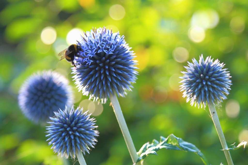 Les insectes butineurs apprécient l'échinops, une plante décorative qui se prête aussi aux bouquets de fleurs et plantes séchées. © Savo Ilic, Adobe Stock