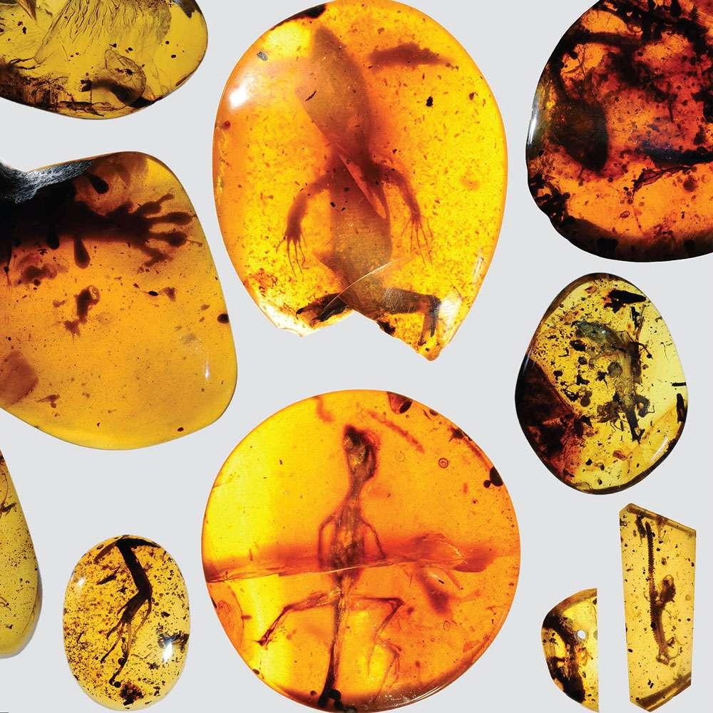 Des restes d'une douzaine de petits lézards, notamment de geckos et d'un caméléon sont présents sur cette image. Ils datent du milieu du Crétacé. © Kristen Grace, Florida Museum of Natural History