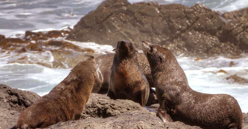 Otaries à fourrure (Arctocephalus pusillus) à Cape Cross. © Holgi, CCO