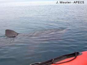 Le dos et les flancs du requin pèlerin sont gris-brun. Sa première nageoire dorsale (aileron) peut dépasser le mètre. La seconde nageoire dorsale est petite. La caudale est asymétrique, la partie supérieure de grande taille. Le requin se nourrit en nageant près de la surface, gueule ouverte. © J. Mourier / Apecs