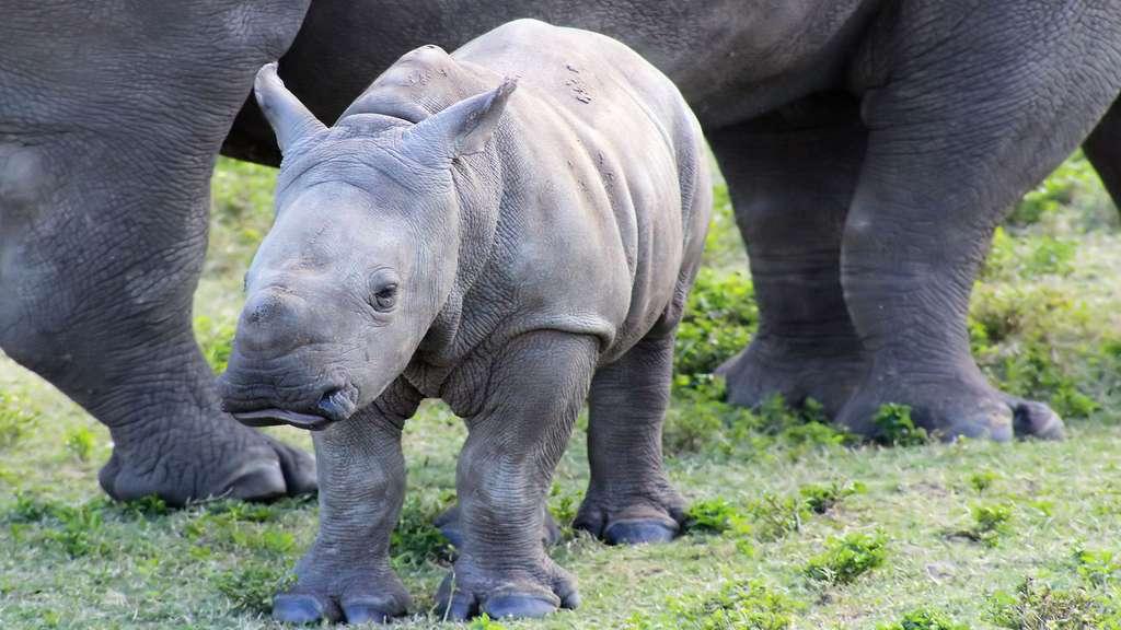 Un bébé rhinocéros blanc du Sud