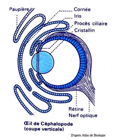 Céphalopode, œil schéma. © Reproduction et utilisation interdites