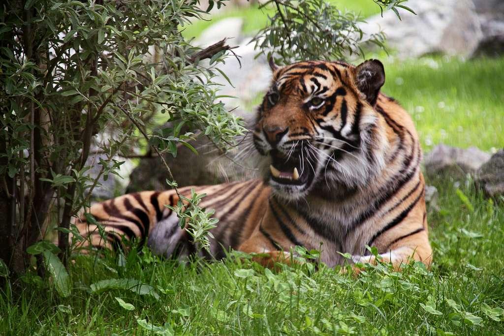 Tigre étendu dans l'herbe. © Xavier Bouchevreau, Flickr, CC by-sa 2.0