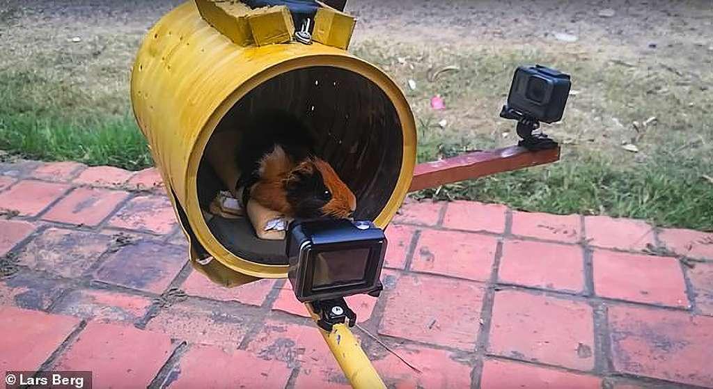 Le cochon d'Inde Galaxionaute ne volera pas dans l'espace. Jean-Patrice Keka Ohemba Okese a été sensible aux arguments de PETA. © Lars Berg, Keka Aerospace