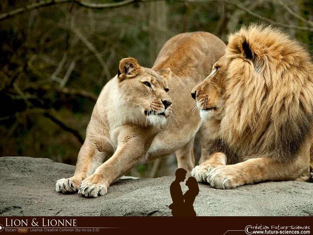 Fond Décran Lion Et Lionne