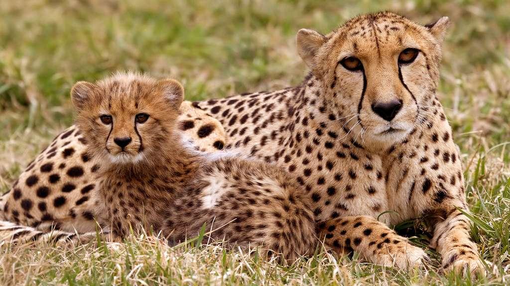 Guépard et son petit