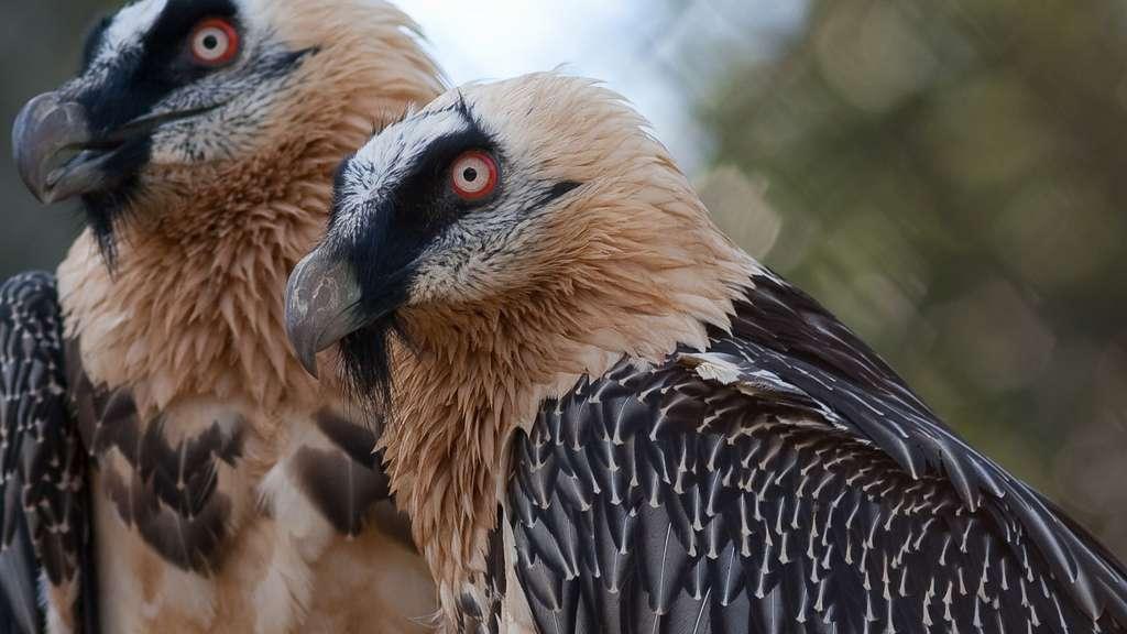 Le gypaète barbu, un vautour de France