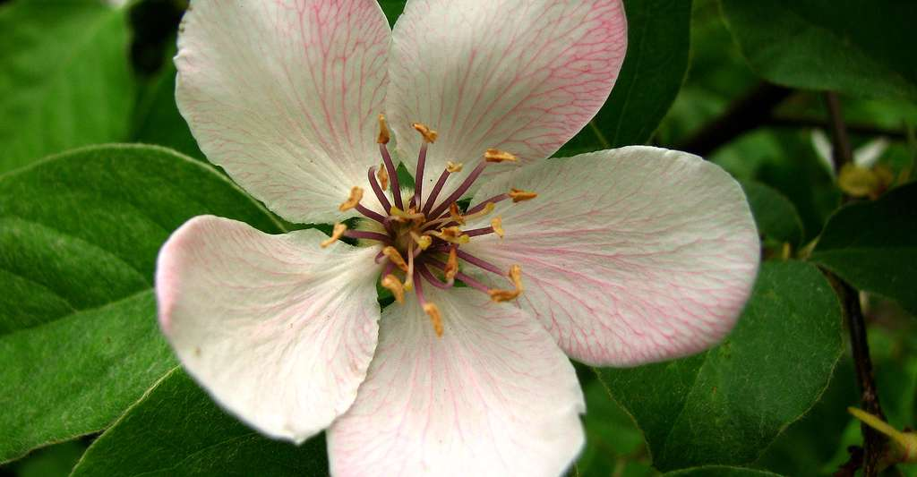 Fleur du cognassier (Cydonia oblonga). © Korlan, Wikimedia Commons, CC by-sa 3.0