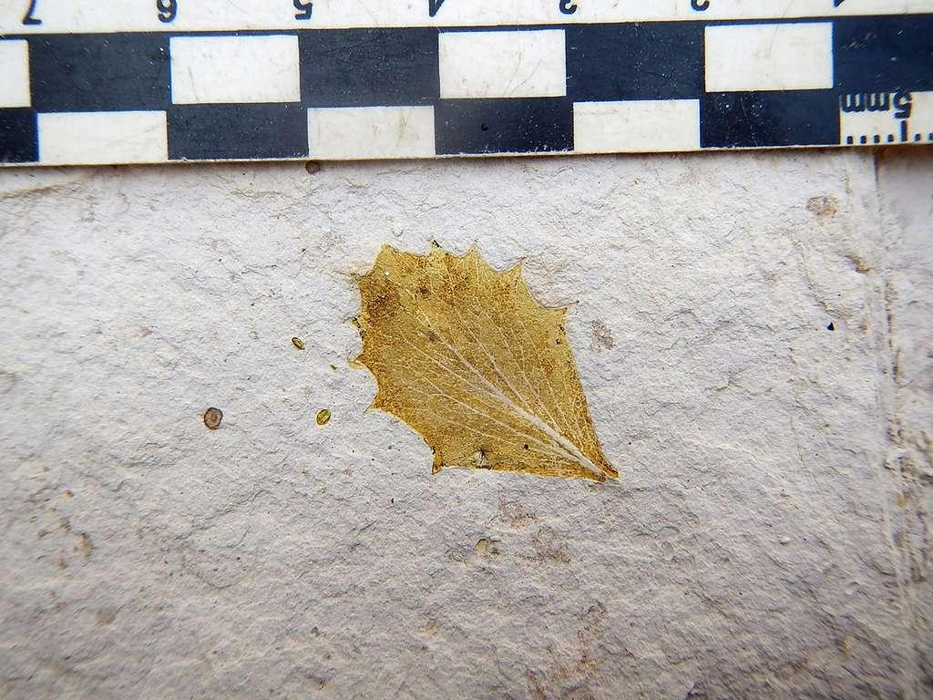 Exemple d'un feuille fossilisée trouvée au Pérou datant du Pliocène. © Carlos Jaramillo