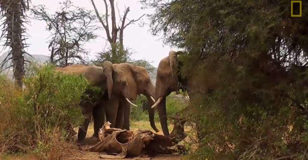 Des éléphants viennent sentir et toucher le corps d'une matriarche, morte, de cause naturelle, quelques semaines plus tôt. © National Geographic