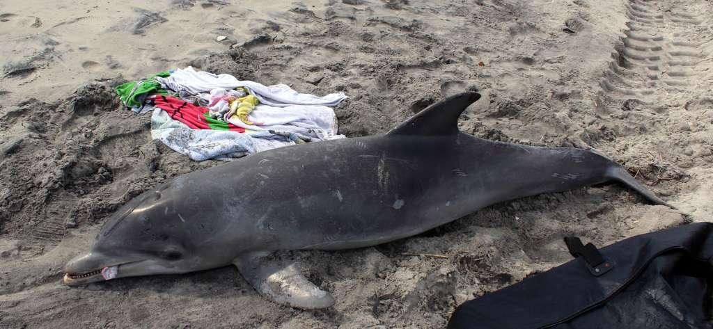 Ce grand dauphin (Tursiops truncatus) a été trouvé mort sur une plage du New Jersey (États-Unis), comme une cinquantaine d'autres depuis le 1er janvier 2013. © Marine Mammal Stranding Center