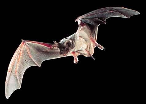 Tadarida brasiliensis. La chauve-souris procure un service écologique. © Ron Groves - domaine public