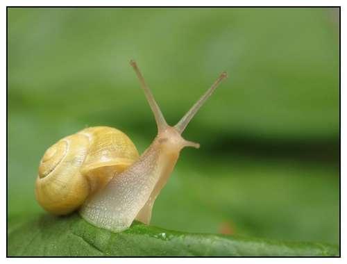 Au sein des milieux dulçaquicoles, 51 % des gastéropodes seraient menacés d'extinction, contre 34 % pour les bivalves et 32 % pour les écrevisses. © Jean-Michel Bernard, Flickr, CC by-nc-nd 2.0
