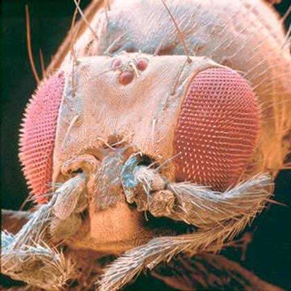Le mutant homéotiqueAntennapedia © The Science Photo Library