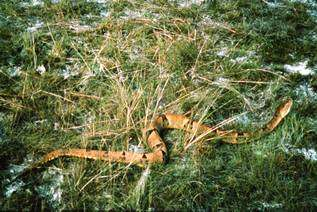 Bothrops brazili, une espèce de serpents de la famille des Viperidae.