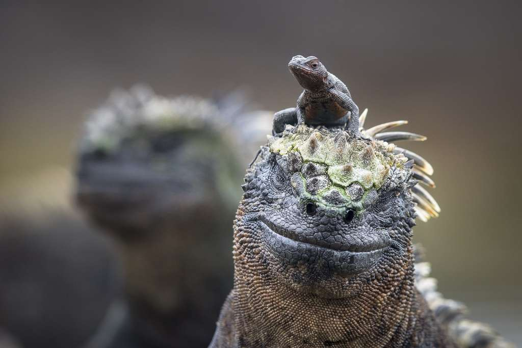 Certaines espèces cohabitent de manière très amicale tel ce lézard des laves sur la tête d'un iguane marin. © Maxime Aliaga, tous droits réservés