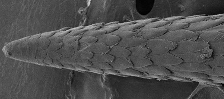 Voici les 3 derniers mm d'une épine de porc-épic vue au microscope optique. On peut voir comme une structure en écailles, qui sont en fait autant de petits piquants qui facilitent la pénétration dans la peau et qui, en même temps, font office d'hameçons lorsqu'on veut la retirer. © Avec l'aimable autorisation de Jeffrey Karp
