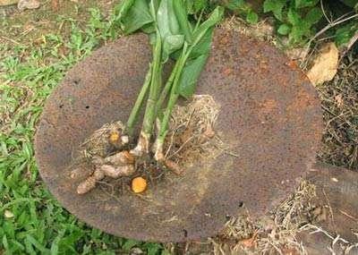 Curcuma longa est une espèce utilisée en Guyane dans les préparations préventives du paludisme (les « amers »). © IRD, Geneviève Bourdy, tous droits de reproduction interdits
