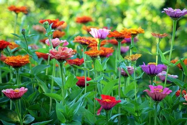 Zinnias toujours très colorés. © Alicja, Pixabay, DP