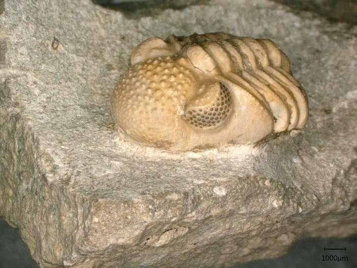 Photographie du fossile de trilobite Phacops geesops, dont les yeux sont chacun composés de 200 lentilles qui recouvrent elles-mêmes six facettes. Chacune de ces facettes forme également un œil. © Brigitte Schoenemann